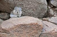 Collared pika hides among the boulder rubble on Polychrome pass, Denali National Park, Interior, Alaska.
