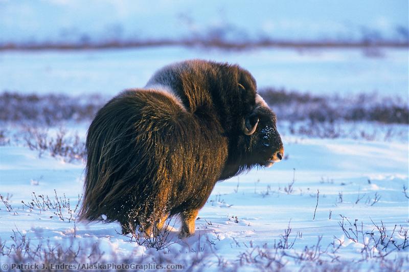 Bull Musk Ox on Alaska's snowy Arctic Coastal Plain, Arctic National Wildlife Refuge.