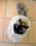 Siamese cat on sitting on tile in Ravello with blue eyes looking upward with an adoring look