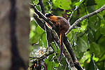 Golden-mantled Tamarin, Tiputini