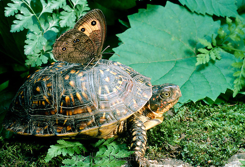 Box turtle gives lovely Buckeye butterfly a ride on his warm shell, Missouri USA