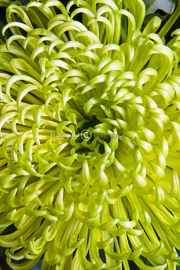 chrysanthème 'Revert'  (Dendranthema = Chrysanthemum 'Revert'). Obtenteur Brandkamp (Allemagne). Race spider (ou Tokyo) // mums, chrysanths, Chrysanthemum 'Revert'