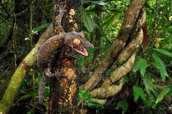 Giant Leaf-Tailed Gecko (Uroplatus fimbriatus), adult, Nosy Mangabe Island, Masoala National Park, Madagascar