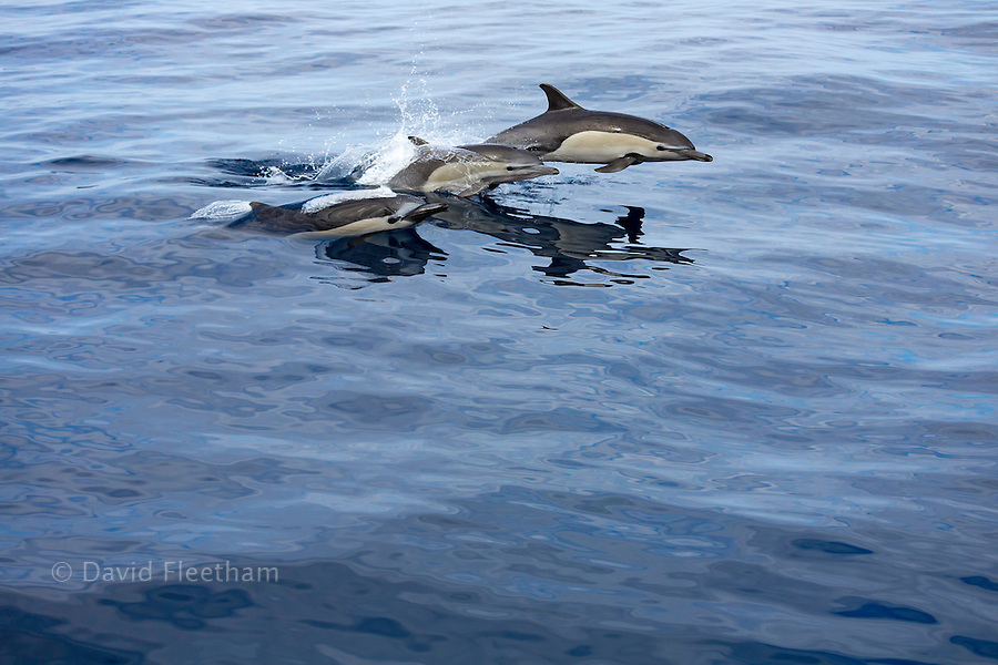 These three common dolphin, Delphinus delphis, were in a school of over 1000 in the Pacific, off Mexico.