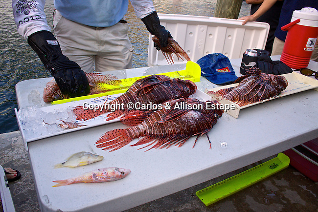 Lionfish derby, Florida Keys, stomach contents