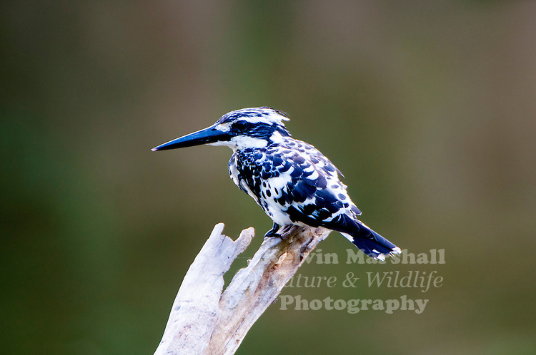 Pied kingfisher (Ceryle rudis) is a water kingfisher and is found widely distributed across Africa and Asia. Its black and white plumage, crest and the habit of hovering over clear lakes and rivers before diving for fish makes it distinctive. Males have a double band across the breast while females have a single gorget that is often broken in the middle. They are usually found in pairs or small family parties. When perched, they often bob their head and flick up their tail. Bundala National Park - Sri  Lanka.