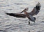 An immature pelican whose full plumage has not yet come in comes in for a landing.  Tarpon Springs, Florida, USA.