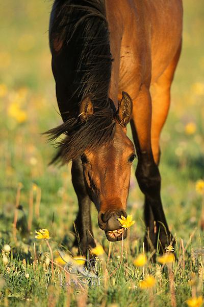 Wild horse feeds on wildflower (balsamroot), Western U.S., summer..(Equus caballus)