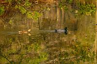 A Pair Of Mallard Ducks, Anas platyrhynchos, On A Pond At  Five Rivers Environmental Center, Delmar, New Yor