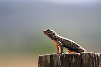 A lizard suns itself atop a fencepost outside Willits in Mendocino County in Northern California.