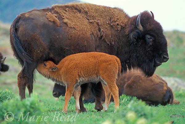 Bison (Bison bison), female with nursing calf, Wichita Mountains National Wildlife Refuge, Oklahoma, USA<br /> Slide M34-33