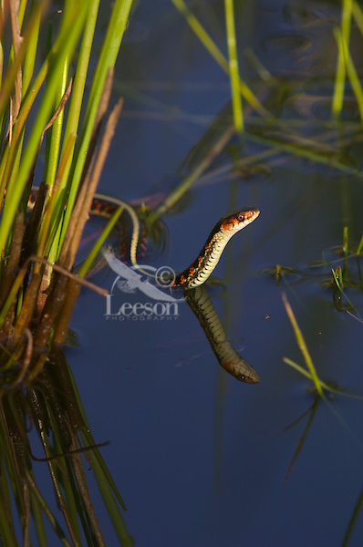 Common Garter Snake (Thamnophis sirtalis) or Red-spotted Garter Snake, Pacific Northwest.