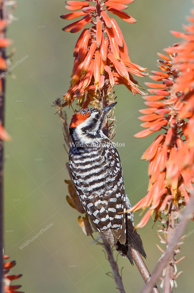Ladder-backed Woodpecker (Picoides scalaris) feeding on nectar from Aloe Vera flowers; Sonoran Desert, Arizona