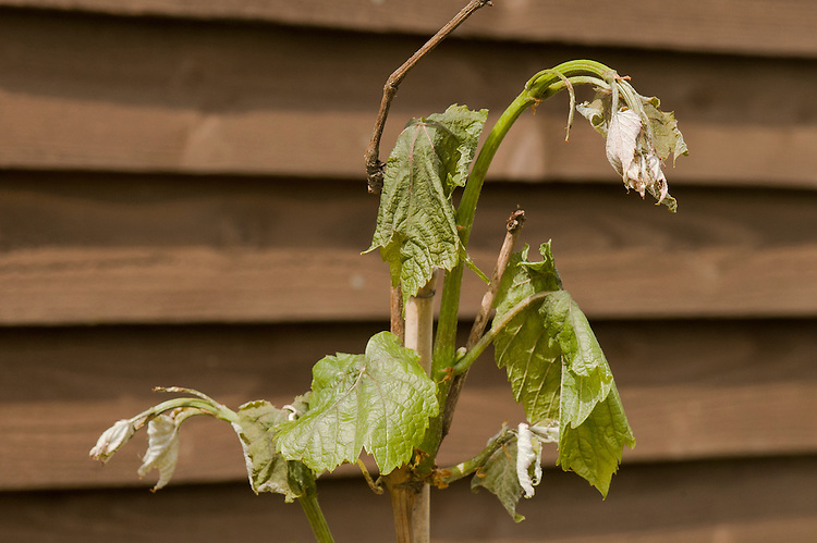 Tender new shoots of a grape vine damaged by frost.