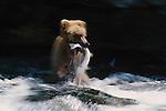 Brown bear with salmon, Alaska