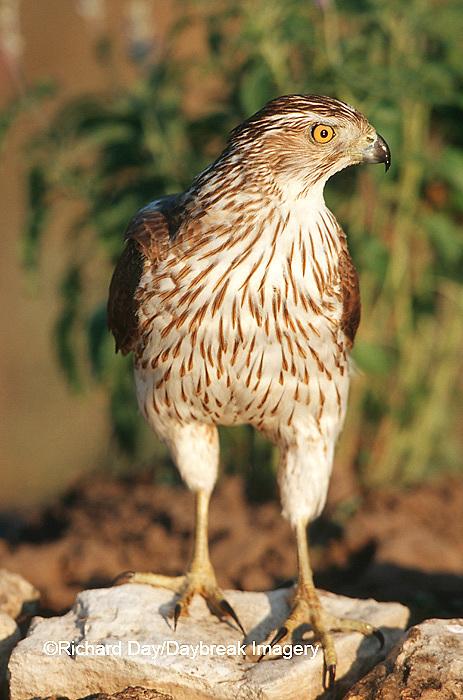 00784-002.19 Cooper's Hawk (Accipiter cooperii) immature  Starr Co. TX