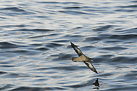Sooty Shearwater Puffinus griseus. Breeds in the southern Atlantic (on islands of New Zealand and South America); outside the breeding season they undertake a circum-Atlantic journey, passing through European waters mainly from July to September.