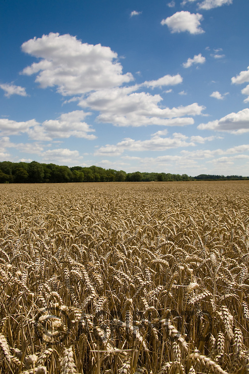 A Landscape of Wheat.Picture Tim Scrivener date taken 9th August  2011 .mobile 07850 303986 e-mail tim@agriphoto.com.....covering Agriculture in The United Kingdom.....