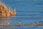 Three hen pheasants on a sandbar surrounded by water