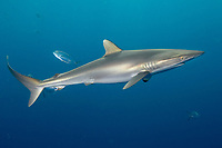 silky shark, Carcharhinus falciformis, Galveston, Texas, USA, Gulf of Mexico, Atlantic Ocean