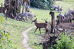 Waterbuck At Lake Bunyonyi Eco Resort