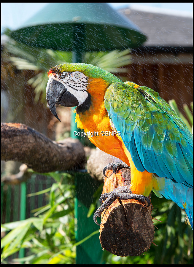 BNPS.co.uk (01202 558833)Pic: IanTurner/BNPS<br /> <br /> Even the colourful Catalina macaw at longleat needed a cooling spray today as the incredible heatwave continued.<br /> <br /> Staff spray the tropical birds daily in the hot weather to allow them to keep their feathers in tip top condition.
