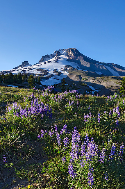 Mt Hood at sunset with lupine in bloom