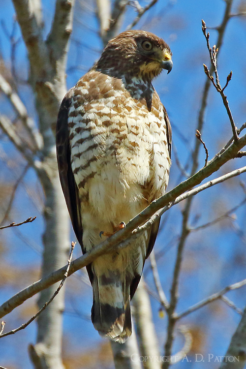 Broad-winged hawk light morph