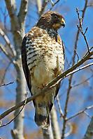 Broad-winged hawk light morph