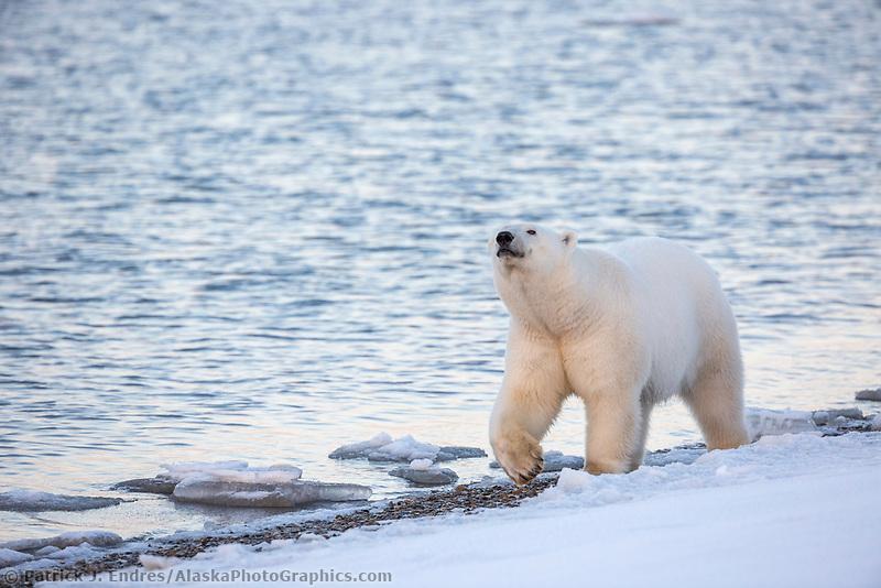 Walks along the shore of Barter Island, Arctic, Alaska.