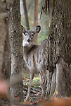 White tail deer doe.