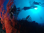 Blue Corner, Palau -- Divers and Gorgonian sea fan against the sun.