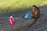 A cheeky monkey with his bounty from the tourists at Polonnaruwa-Mediaeval Capital City, Sri Lanka