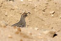 desert, quail, birds, animal, wildlife