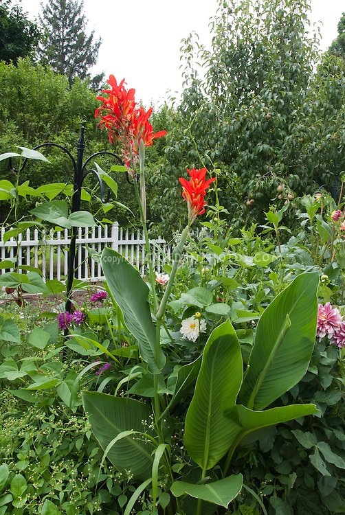 Summer Garden with red canna, dahlias, apple tree with fruit, bold foliage