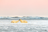 Young male Polar Bears (Ursus maritimus) sparring in the icy waters off the coast of Kaktovik, Alaska. Typically the males are solitary creatures, but they gather together in groups (we saw one group of 8 young males) to play fight and hang out. The fighting isn't serious, but it is constant. One day, when these bears are adults and mating rights are at stake, the battle will be real. This is just a dress rehearsal.