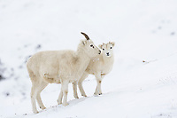 Dall sheep ewes and lambs forage for food in the snow in Atigun Pass, Brooks Range, Alaska