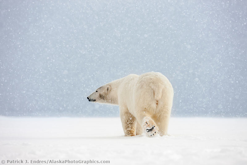 Adult female polar bear walks in the falling snow on an island in the Beaufort sea, Arctic, Alaska.