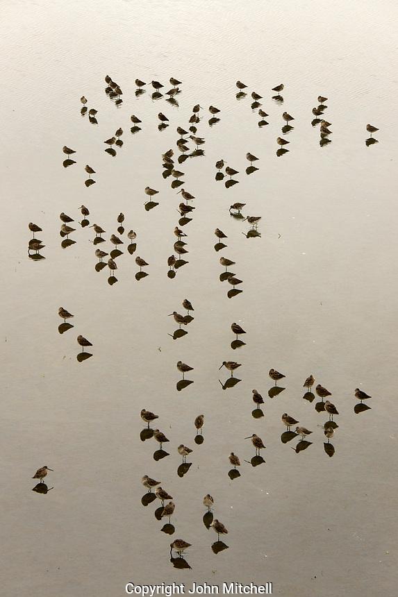 Sandpipers at the Reifel migratory Bird Sanctuary,  Westham Island, Delta, BC, Canada