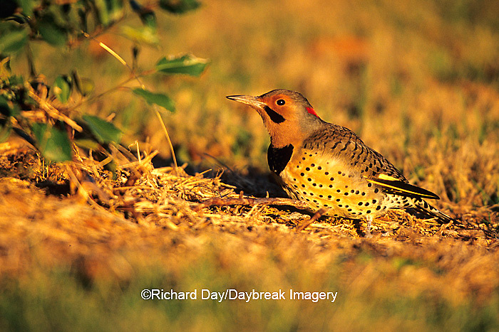 01193-012.13 Northern Flicker (Colaptes auratus) male feeding on ground, Marion Co.  IL