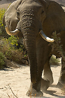 The elephants of the Hoarusib Valley have adjusted to the near-desert conditions in which they have to live. Visible signs of this are their shorter tusks and longer legs.