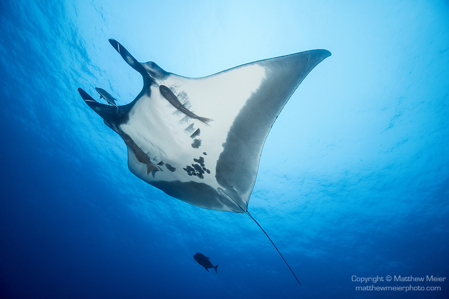 San Benedicto Island, Revillagigedos Islands, Mexico; a chevron manta ray swimming overhead while partially blocking out the sun