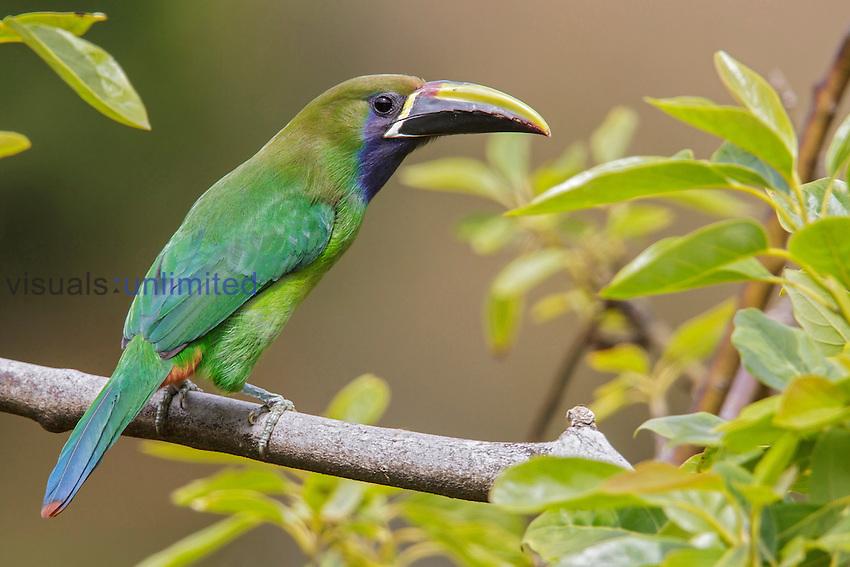 Emerald Toucanet (Aulacorhynchus prasinus), Costa Rica.