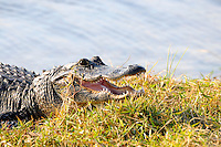 "Welcome to the Florida Everglades.  My ""flagship"" picture and, therefore, the name Gatorsnapper!"