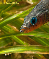 1S74-526z  Threespine Stickleback, Parental Male protecting young, Gasterosteus aculeatus,  Hotel Lake British Columbia