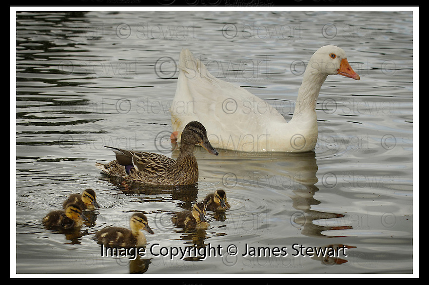 23/05/2006         Copyright Pic: James Stewart.File Name : sct_jspa03_goose. A GOOSE AT THE GUNKNOWE LOCH, TWEEDBANK NEAR GALASHIELS, WITH HIS FAMILY OF ADOPTED DUCKS ....Payments to :.James Stewart Photo Agency 19 Carronlea Drive, Falkirk. FK2 8DN      Vat Reg No. 607 6932 25.Office     : +44 (0)1324 570906     .Mobile   : +44 (0)7721 416997.Fax         : +44 (0)1324 570906.E-mail  :  jim@jspa.co.uk.If you require further information then contact Jim Stewart on any of the numbers above.........