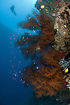 Black coral bush in the reef with diver