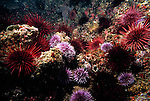 Santa Cruz Island, Channel Islands National Park and National Marine Sanctuary, California; numerous Purple Sea Urchins (Strongylocentrotus purpuratus) and Red Sea Urchins (Strongylocentrotus franciscanus) cover the rocky reef , Copyright © Matthew Meier, matthewmeierphoto.com All Rights Reserved