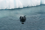 Crabeater seal peeks from water, Antarctica