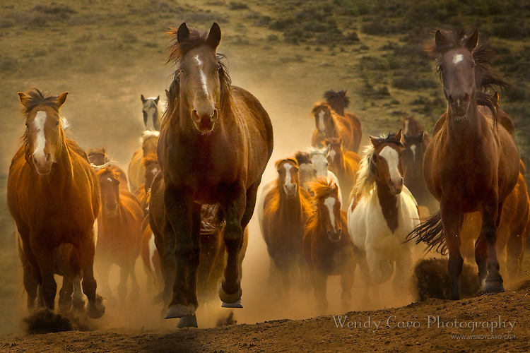 Herd of horses racing up a hill, from low angle, coming head on